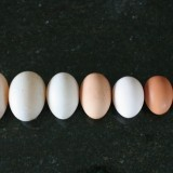 A variety of backyard chicken eggs