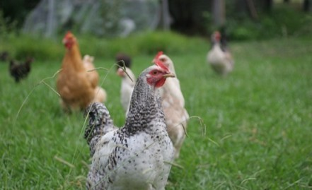 How many backyard chickens do you need?
